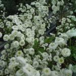 spirée prunifolia