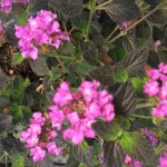 lantana sellowiana violet