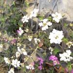 lantana sellowiana alba