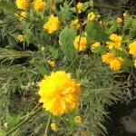 kerria japonica pléniflora